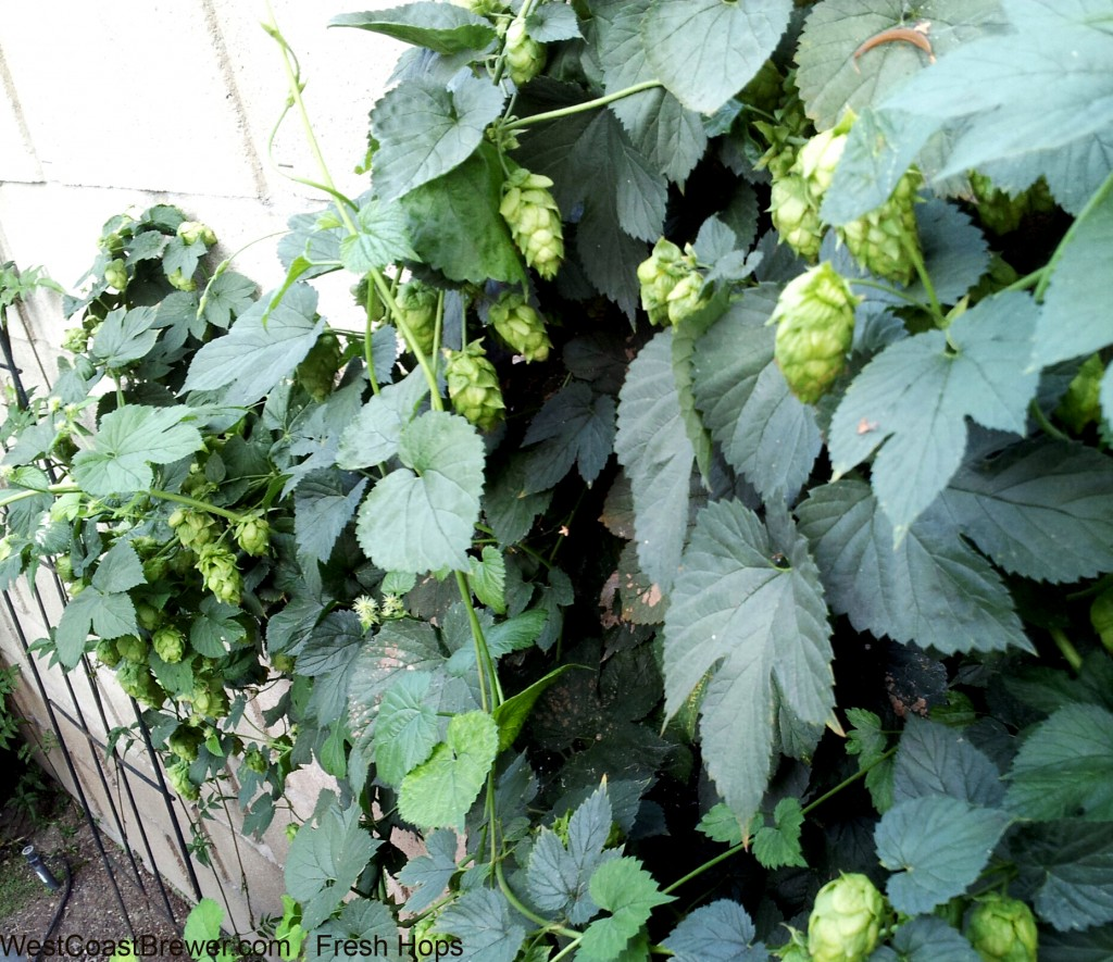 Cascade hops ready to be used for Fresh Hopping or Wet Hopping.